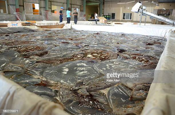 Rhopilema an edible species of jellyfish being processed in a warehouse