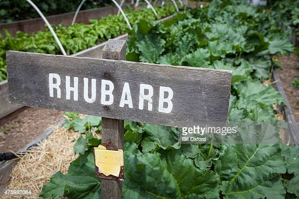 rhubarb - growing vegetables - rhubarb stock photos and pictures