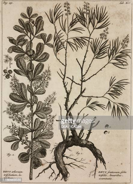 1 Rhus angustifolia 2 Rhus lucida engraving from Rariorum Africanarum Plantarum by Johannes Burman Table XCI published by Hendrik Boussiere Amsterdam