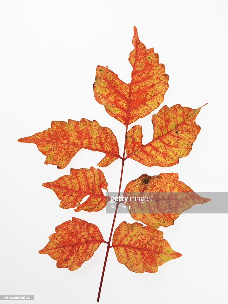Rhus succedanea  leaves on white background, close-up : Foto stock