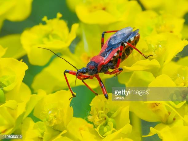 rhynocoris iracundus – assassin bug - kissing bug stock photos and pictures