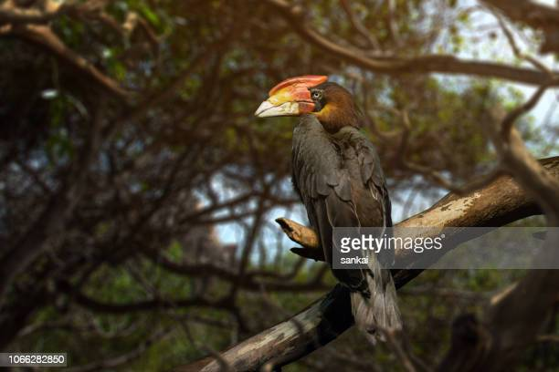 rhyticeros plicatus - papua new guinea stock pictures, royalty-free photos & images