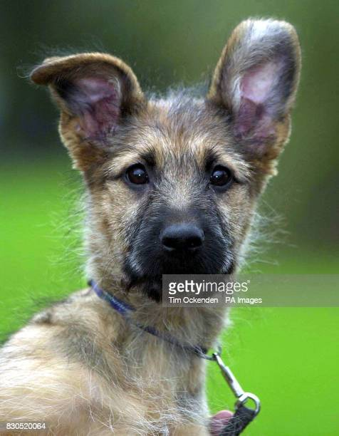 Rian a 13 week old German shepherd/Briardcross is another example of thousands of animals given as presents each year that are abandoned Although so...