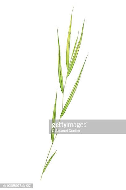 ribbon grass blade, studio shot - blade of grass stock pictures, royalty-free photos & images