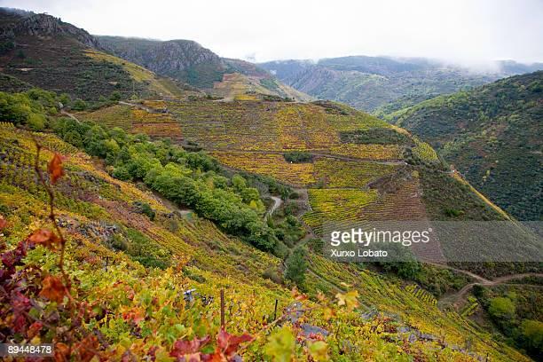 Ribeira Sacra Lugo Autumn landscape of vineyards