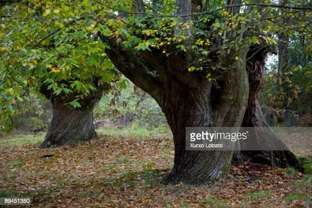 Ribeira Sacra Lugo Souto de Valguaire Chesnut tree in the forest