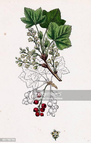 Ribes rubrum var Smithianum Red Currant var y