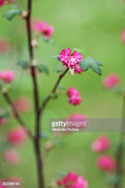 ribes sanguineum pursh or red-flowering currant - alexandra pavlova stock pictures, royalty-free photos & images