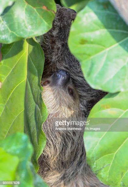 Rica a Linne's twotoed Sloth in the new OcircEnergy for LifeOtilde Tropical House at Marwell Zoo in Hampshire before the public opening on Monday...