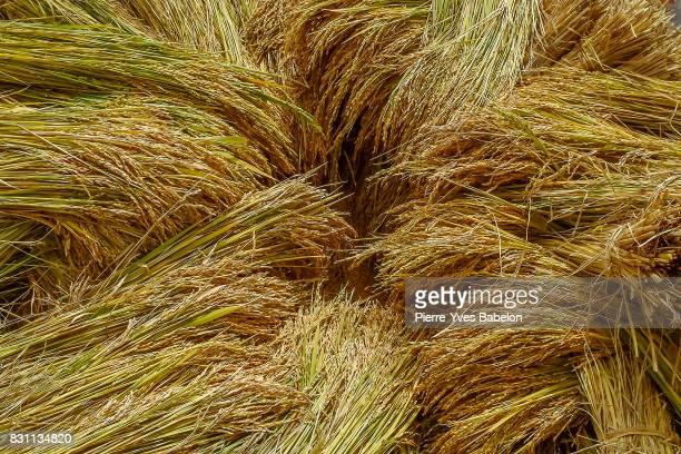 rice crop in madagascar - pierre yves babelon stock pictures, royalty-free photos & images
