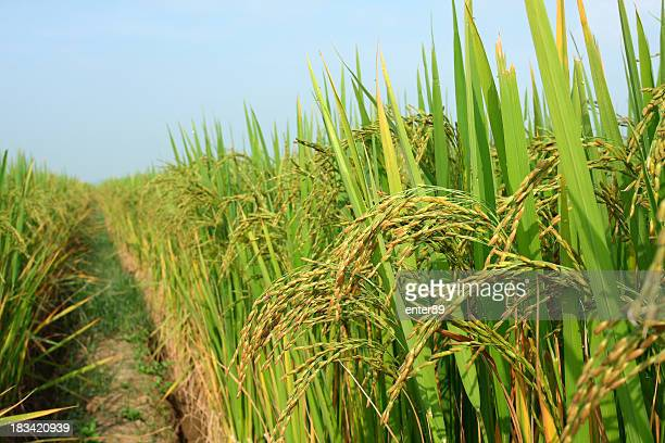 rice crop in the sunshine - gewas stockfoto's en -beelden