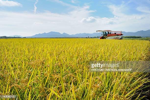 rice crop, yamaguchi prefecture, honshu, japan - 山口県 ストックフォトと画像