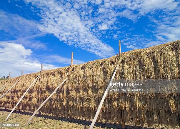 rice drying in field, houki-machi, tottori prefecture, japan - 鳥取県 無人 ストックフォトと画像