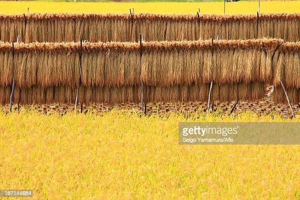 Rice ears drying, Gunma Prefecture