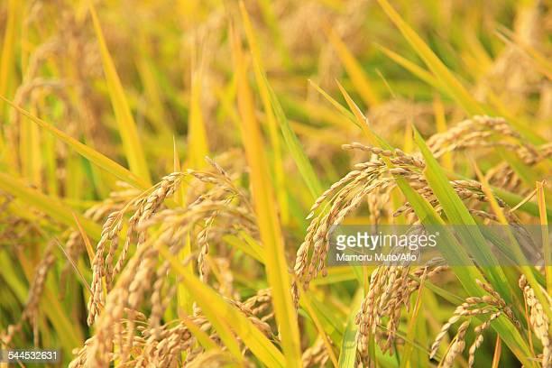 rice ears - 盛岡市 ストックフォトと画像