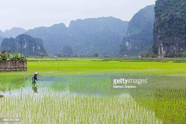 rice farmer harvesting plants in wet field - merten snijders stockfoto's en -beelden