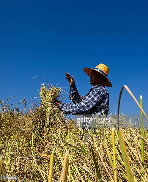 Rice farmer Pradit Suksak collects his crop during a harvest in Surin Thailand on Monday Nov 22 2010 Thailand the world's biggest rice exporter said...