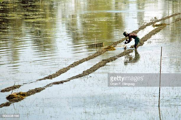 A rice farmer repairs his flooded rice paddy The low lying areas of Bangladesh are regularly flooded by the melting glaciers of Himalaya Yet with...