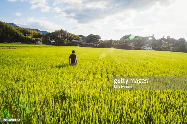 a rice farmer standing in a field of green crops, a rice paddy with lush green shoots. - 水田 ストックフォトと画像