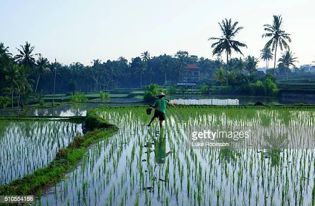 Rice Farmer, Ubud