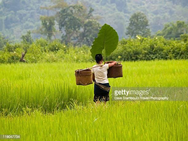 Rice farmer under leaf