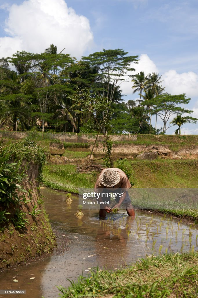 Rice farmer works at Tegalalang rice terrace, Ubud, Bali Island : Foto stock