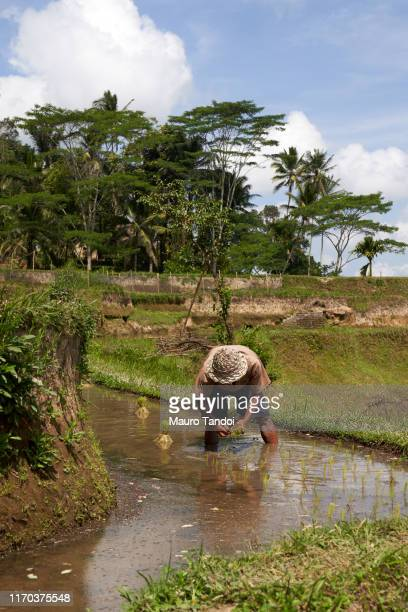 rice farmer works at tegalalang rice terrace, ubud, bali island - mauro tandoi stock photos and pictures