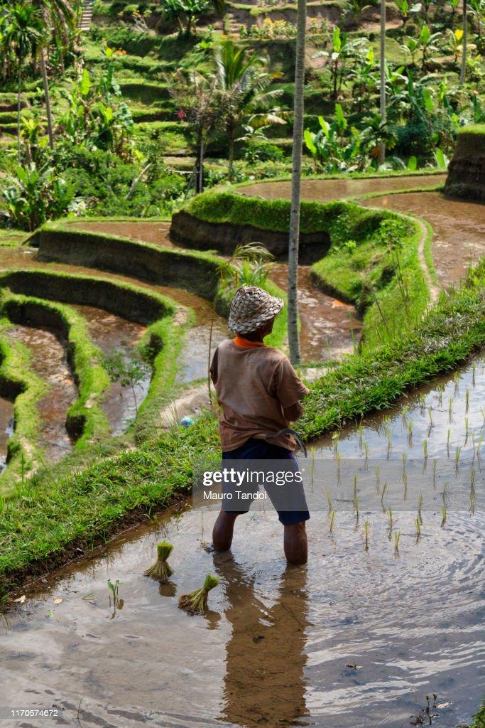 Rice farmer works at Tegallalang rice terrace, Ubud, Bali Island : Stock Photo