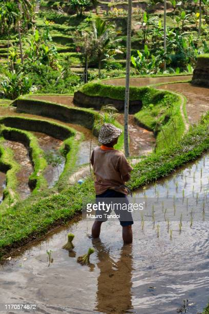 rice farmer works at tegallalang rice terrace, ubud, bali island - mauro tandoi stock pictures, royalty-free photos & images