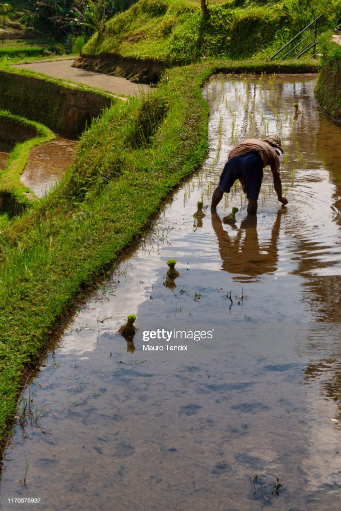 Rice farmer works at Tegallalang rice terrace, Ubud, Bali Island : Foto stock