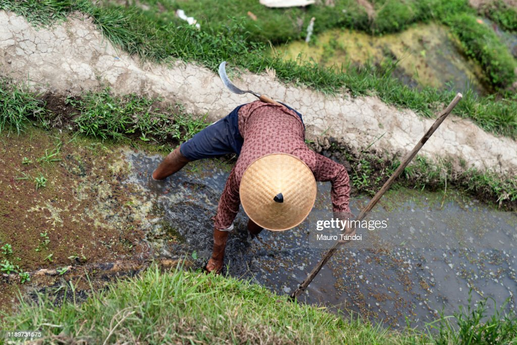 Rice farmer works at Tegallalang rice terrace, Ubud, Bali Island : Foto stock