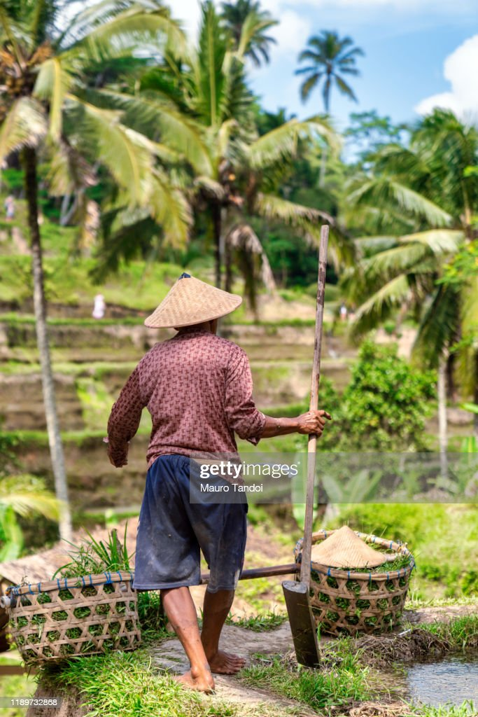 Rice farmer works at Tegallalang rice terrace, Ubud, Bali Island : Stock Photo