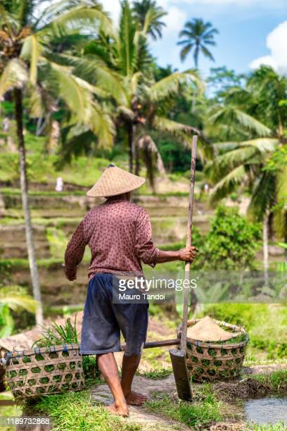 rice farmer works at tegallalang rice terrace, ubud, bali island - mauro tandoi stock photos and pictures