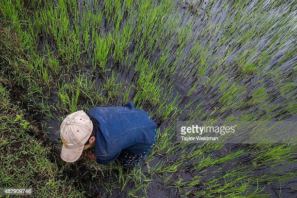 A rice farmer works in a field inside the planned Dawei SEZ on August 3 2015 in Nabule MyanmarThe controversial multibillion dollar Dawei special...