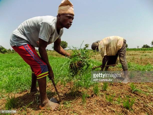 Rice farmers remove weeds on a rice field outside northern Nigerian city of Kano on July 4 2017 / AFP PHOTO / AMINU ABUBAKAR