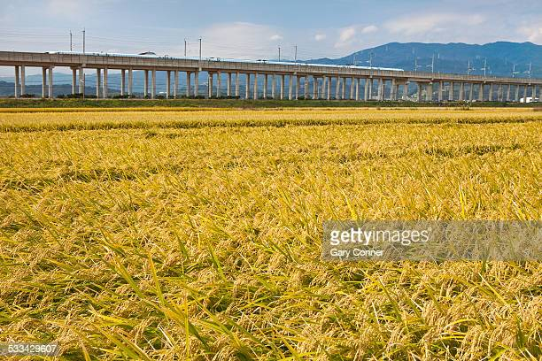 Rice field and Bullet train