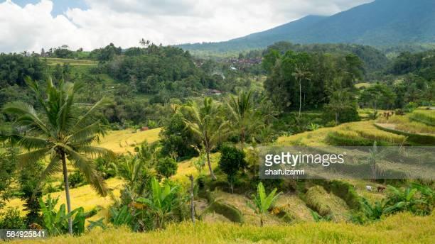 rice field at bali - shaifulzamri fotografías e imágenes de stock