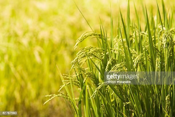 rice field before it harvests - 水田 ストックフォトと画像