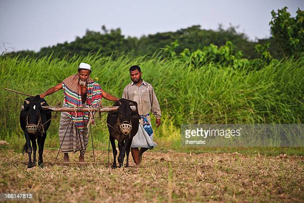 CONTENT] A rice field being plowed by a farmer in Bangladesh