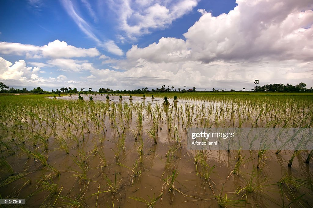 A Rice Field in a Rural Village near Kampot (Cambodia).