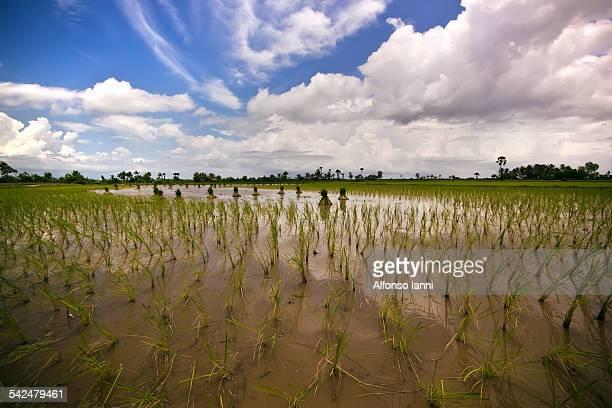 A Rice Field in a Rural Village near Kampot