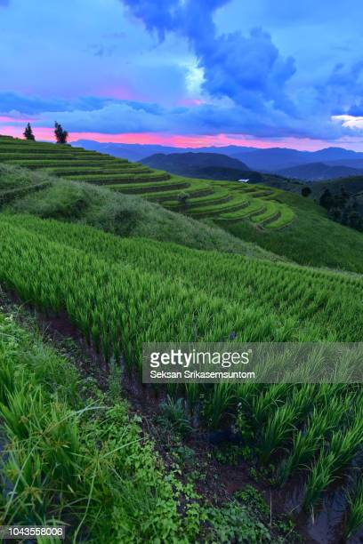 ac7b64f23 Asian girl in national costume of Vietnam sitting on the boat in Red lotus  sea in. Rice field in countryside (Pa Pong Piang Rice Terraces) at Sunset
