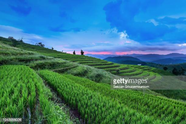 rice field in countryside (pa pong piang rice terraces) at sunset - reisterrasse stock-fotos und bilder