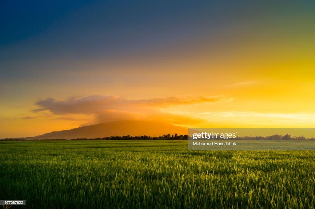 Rice field in golden light, Kedah, Malaysia : Stockfoto