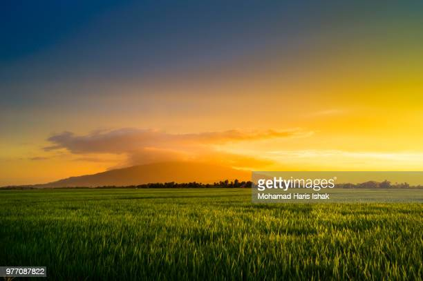 rice field in golden light, kedah, malaysia - paddy field stock pictures, royalty-free photos & images