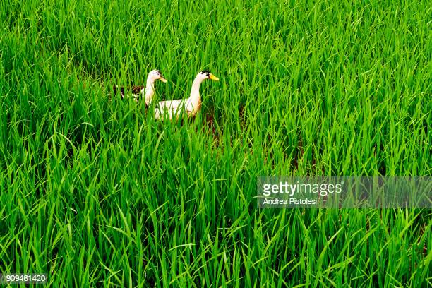 rice field in mai chau scenic valley, north vietnam - mai chau stock pictures, royalty-free photos & images