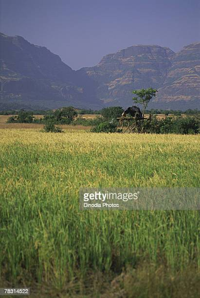 Rice field in Malshej Ghat, Maharashtra, India