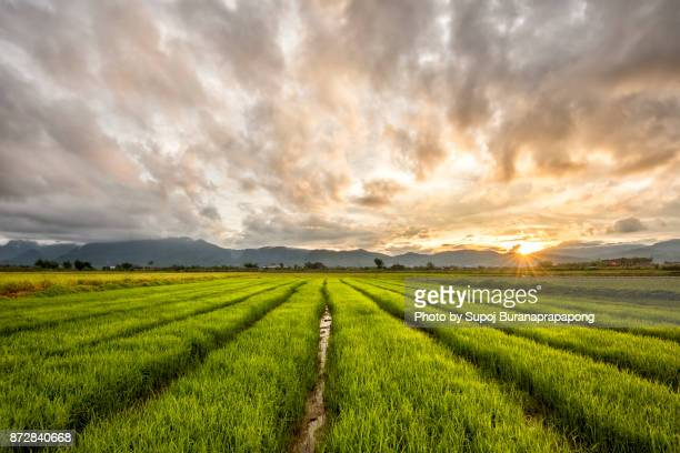 rice field in sunrise time for background.green rice field with mountains before sunset - cambodia stock pictures, royalty-free photos & images