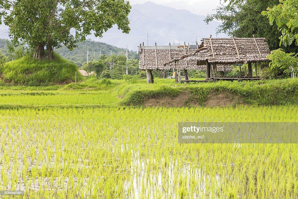 Campo di riso in Tailandia : Foto stock