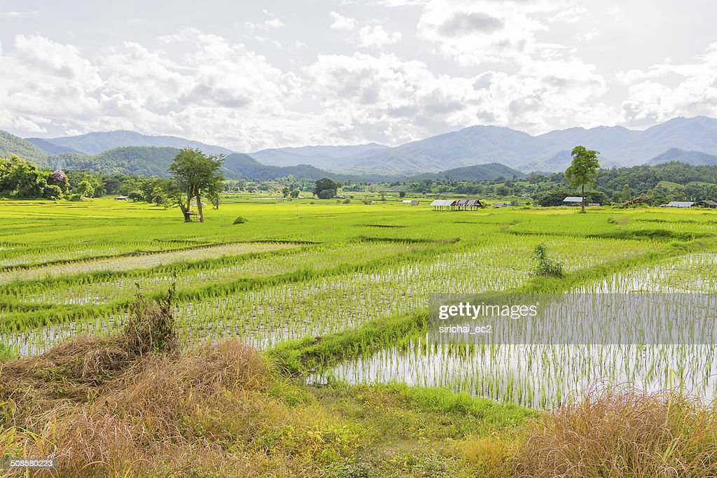 Rice field in thailand : Bildbanksbilder